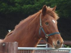 A Chestnut Mare